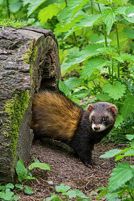 Photograph - Polecat by Arterra Picture Library