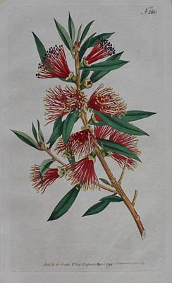 Native Plants Drawing - 1794 Callistemon Bottlebrush by Curtis Botanical Magazine