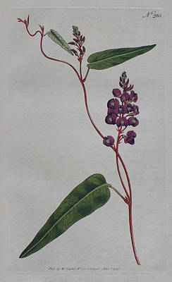 Native Plants Drawing - 1794 Hardenbergia Violacea by Curtis Botanical Magazine