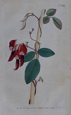 Native Plants Drawing - 1794 Kennedia Rubicunda  by Curtis Botanical Magazine