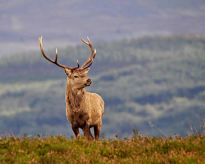 Photograph -  Red Deer Stag by Gavin Macrae