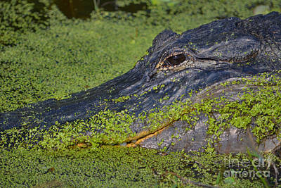 Photograph - 18- American Alligator by Joseph Keane
