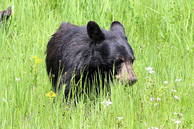 Photograph - American Black Bear Yellowstone Usa by Bob Savage
