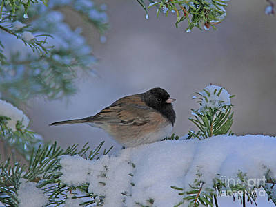 Tree Photograph - Dark-eyed Junco by Gary Wing