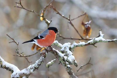 Photograph - Eurasian Bullfinch by Jouko Lehto