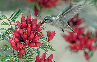 Photograph - Hummingbird by Tam Ryan