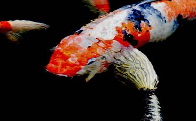 Photograph - Koi Fish by Werner Lehmann