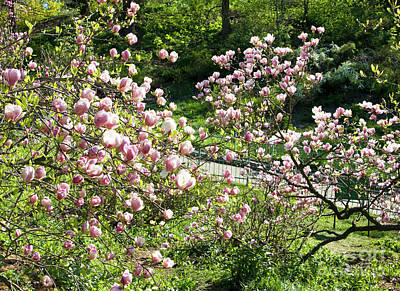 Photograph - Pink Magnolia by Irina Afonskaya