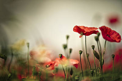 Luminous Photograph - Poppy Meadow by Nailia Schwarz