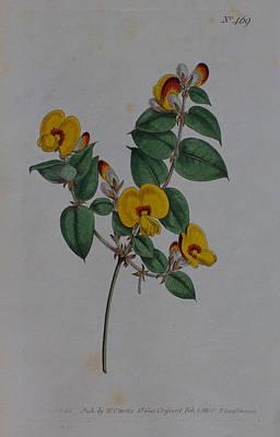 Native Plants Drawing - 1800 Platylobium Flat Pea by Curtis Botanical Magazine