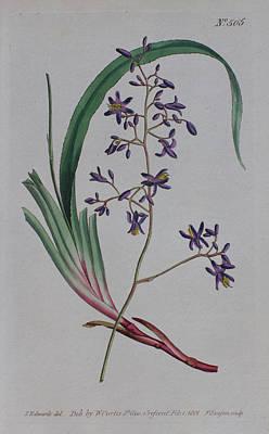 Native Plants Drawing - 1801 Dianella Caerulea by Curtis Botanical Magazine