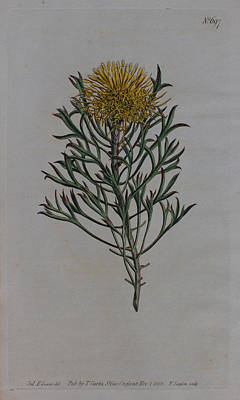 Native Plants Drawing - 1803 Isopogon Anemonifolius by Curtis Botanical Magazine