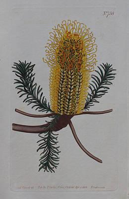 Native Plants Drawing - 1804 Banksia Ericifolia by Curtis Botanical Magazine