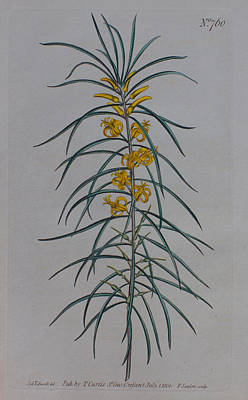 Native Plants Drawing - 1804 Persoonia Linearis by Curtis Botanical Magazine