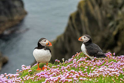 Photograph - Shetland Puffins by Arterra Picture Library