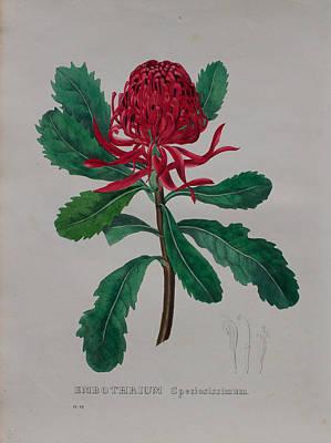 Native Plants Drawing - 1834 Waratah  Telopea Speciosissima by Geel Botanicum