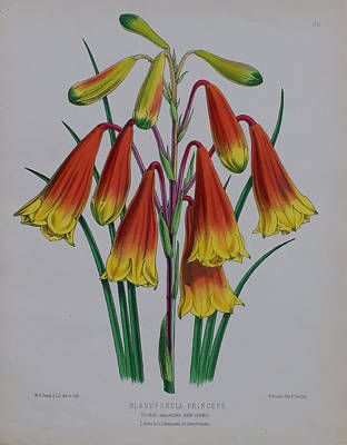 Native Plants Drawing - 1878 Blandfordia Christmas Bells by Floral Magazine - Fitch
