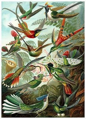 Hummingbird Digital Art - 1899 Hummingbird Species Art Forms Of Nature Print by Retro Graphics