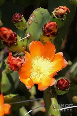 Photograph - Cactus Flowers by Douglas Miller