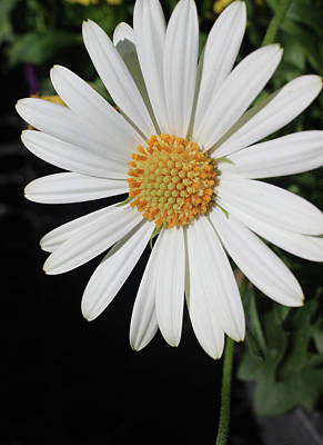 Photograph - Daisy by Michele Caporaso