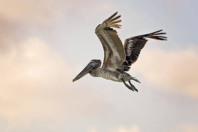 Photograph - Pelican by Peter Lakomy