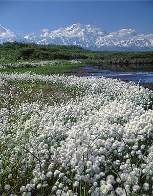 Photograph - 1m1370 Cottongrass Tundra And Mt. Mckinley  by Ed  Cooper Photography