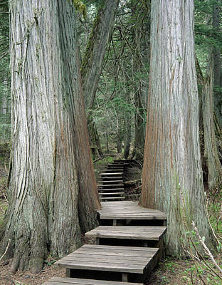 Photograph - 1m2623 Giant Cedars Boardwalk by Ed Cooper Photography
