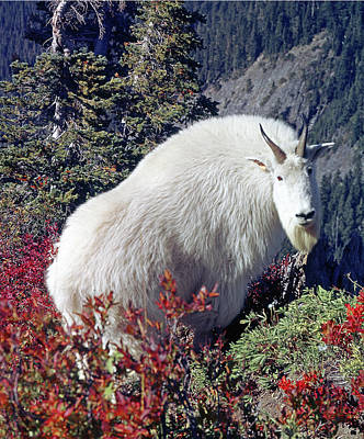 Photograph - 1m4900 Mountain Goat Near Mt. St. Helens by Ed Cooper Photography