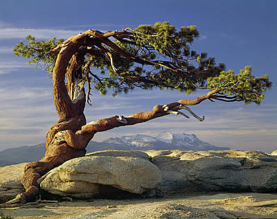 1m6701 Historic Jeffrey Pine Sentinel Dome Yosemite Art Print