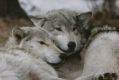 A Couple Of Gray Wolves, Canis Lupus Art Print by Jim And Jamie Dutcher