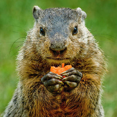 Groundhog Wall Art - Photograph - A Hungry Fellow  by Paul W Faust - Impressions of Light
