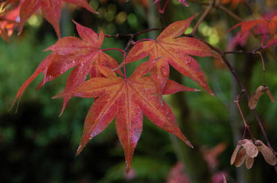 Photograph - Japanese Maple Leaves 2 by Marilyn Wilson