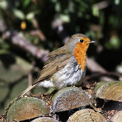 Photograph - A Robin by Chris Day