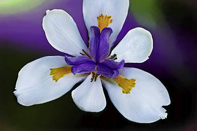 Photograph - African Iris Color by Kay Brewer