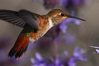 Allen's Hummingbird Art Print by Paul Marto