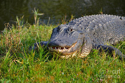 Photograph - 2- Alligator by Joseph Keane