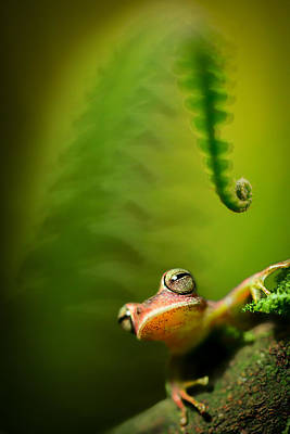 Tree Frogs Photograph - Amazon Tree Frog by Dirk Ercken