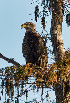 Photograph - Juvenile American Bald Eagle by John Black
