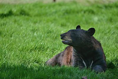 Tool Paintings - American Black Bear Ursus Americanus in forest clearing landscap by Matthew Gibson