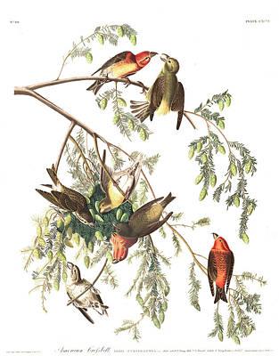 Crossbill Wall Art - Painting - American Crossbill by John James Audubon