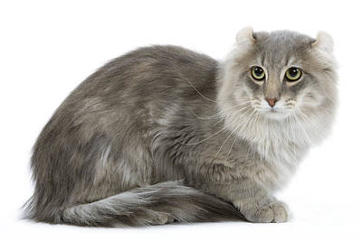 Gray Tabby Photograph - American Curl Cat by Jean-Michel Labat