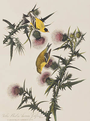 Finch Drawing - American Goldfinch by John James Audubon