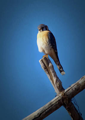 Art Print featuring the digital art American Kestrel by Ernie Echols