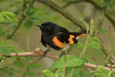 Photograph - American Redstart by Alan Lenk