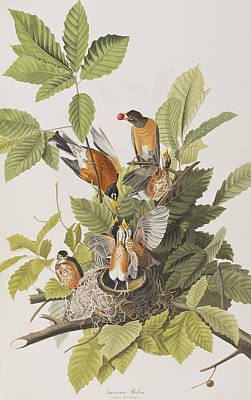 American Robin Art Print by John James Audubon