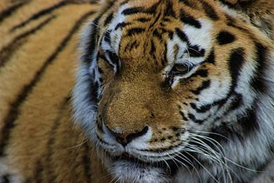 Tiger Hunt Photograph - Amur Tiger by Martin Newman