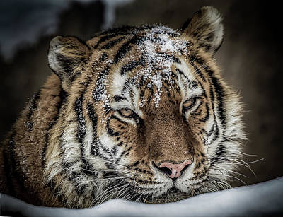 Photograph - Amur Tiger by Ron Pate