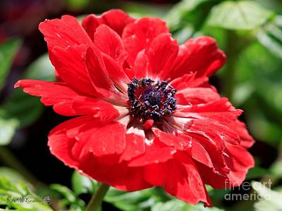 Photograph - Anemone De Caen Named His Excellency by J McCombie