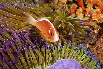 Undersea Photograph - Anemonefish by Dave Fleetham - Printscapes