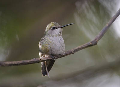 Photograph - Anna's Hummingbird by Kathy King
